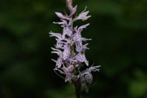 Dactylorhiza-fuchsii-Stoplamek-Fuchsa
